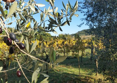 agriturismo_tuscany_cerinella_wedding_olivegrove_vineyard